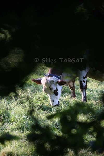 vaches pays d'auge