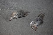 allemagne (germany), berlin, friedrichshain, immauble, ancien berlin est, ailes d'oiseaux morts dans le trottoir,
